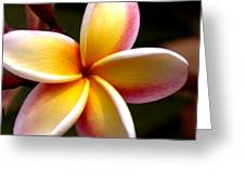 Pink And Yellow Plumeria Greeting Card