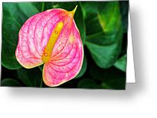 Pink Anthurium Greeting Card