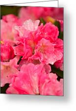 Pink Azalias Greeting Card