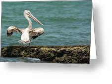 Pink-backed Pelican Looking Over Shoulder Greeting Card