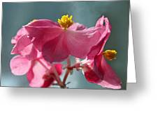 Pink Begonia Flower Portrait Greeting Card