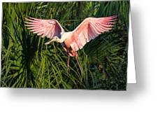 Pink Bird Flying - Spoonbill Coming In For A Landing Greeting Card