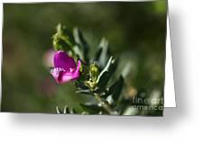 Pink Blush - Sweet Pea Bush  Greeting Card