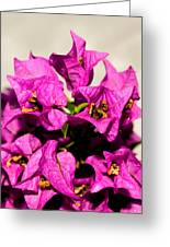 Pink Bougainvillea Classical Greeting Card