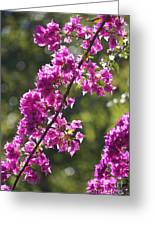 Pink Bougainvillea Sunshine Greeting Card