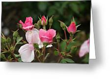 Pink Buds Starting To Open Greeting Card