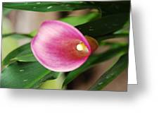 Pink Cala Lily Greeting Card