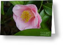 Pink Camellia About To Bloom Greeting Card
