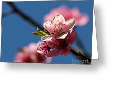 Pink Cherry Tree Blossom Greeting Card