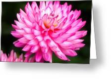 Pink Chrysanths Greeting Card