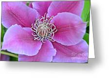 Pink Clematis Beauty Greeting Card
