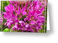 Pink Cleome Flower Greeting Card
