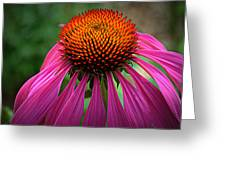 Pink Coneflower  Greeting Card