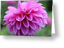 Pink Dahlia Closeup Greeting Card