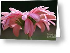Pink Daisy 1 Greeting Card