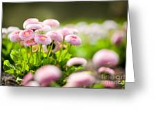 Bellis Perennis Pomponette Called Daisy Blooming  Greeting Card