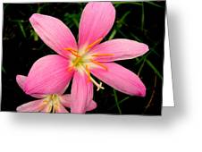 Pink Day Lily Greeting Card