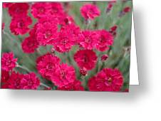 Pink Dianthus Flowers Greeting Card