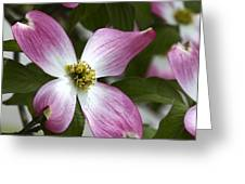 Pink Dogwood Blossom Up Close Greeting Card
