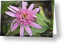 Pink Double Delight Echinacea Greeting Card