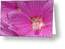 Lavatera Rosea Greeting Card