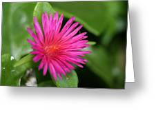Pink Flower Of Succulent Carpet Weed  Greeting Card