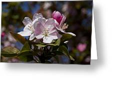 Pink Flowering Crabapple - Malus Greeting Card