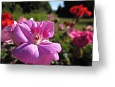 Pink Geranium Greeting Card