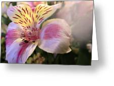 Pink Glow Lily  Greeting Card