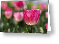 Pink Glowing Tulip Greeting Card