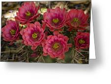 Pink Hedgehog Cactus Flowers  Greeting Card