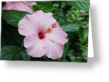 Pink Hibiscus #3 Greeting Card