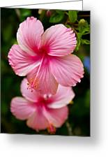Pink Hibiscus Flowers Greeting Card