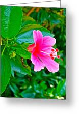 Pink Hibiscus Near Celadon Factory In Chiang Mai-thailand Greeting Card