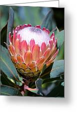 Pink Ice Protea Greeting Card