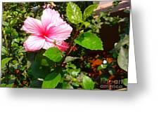 Pink Java Flower  Greeting Card