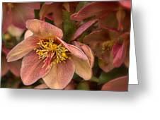 Pink Lenten Rose Greeting Card
