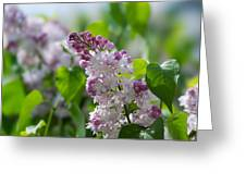 Pink Lilacs And Green Leaves - Featured 3 Greeting Card