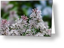Pink Lilacs - Featured 2 Greeting Card