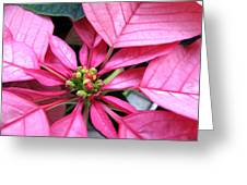 Pink Macro Poinsettia Greeting Card
