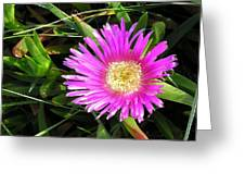 Pink Mesembryanthemum  Greeting Card