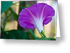 Pink Morning Glory Greeting Card
