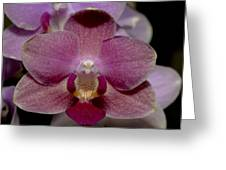 Pink Moth Orchid Greeting Card by Gerald Murray Photography