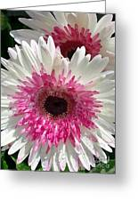 Pink N White Gerber Daisy Greeting Card