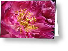 Pink Peony Flower Macro Greeting Card