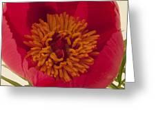 Pink Peony Stamen Macro Greeting Card