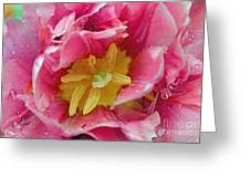Pink Peony Tulip With Raindrop Greeting Card