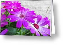 Pink Perciallis Ragwort Flower Art Prints Greeting Card