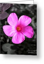 Pink Phlox Greeting Card