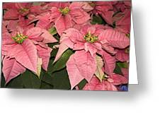 Pink Poinsettias Close-up Greeting Card